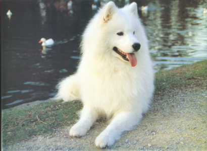 About The Breed Samoyed Club Of Victoria