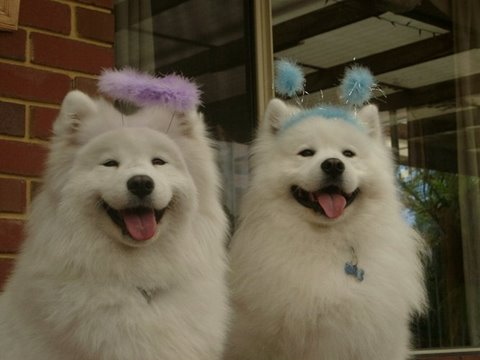 Choosing Your Samoyed Samoyed Club Of Victoria